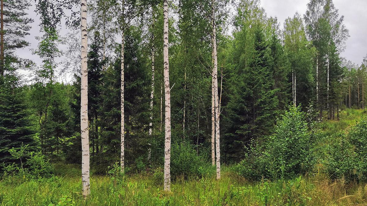 Metsäpalsta Saarela