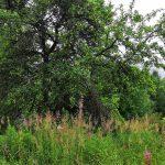 Lammintausta omenapuu