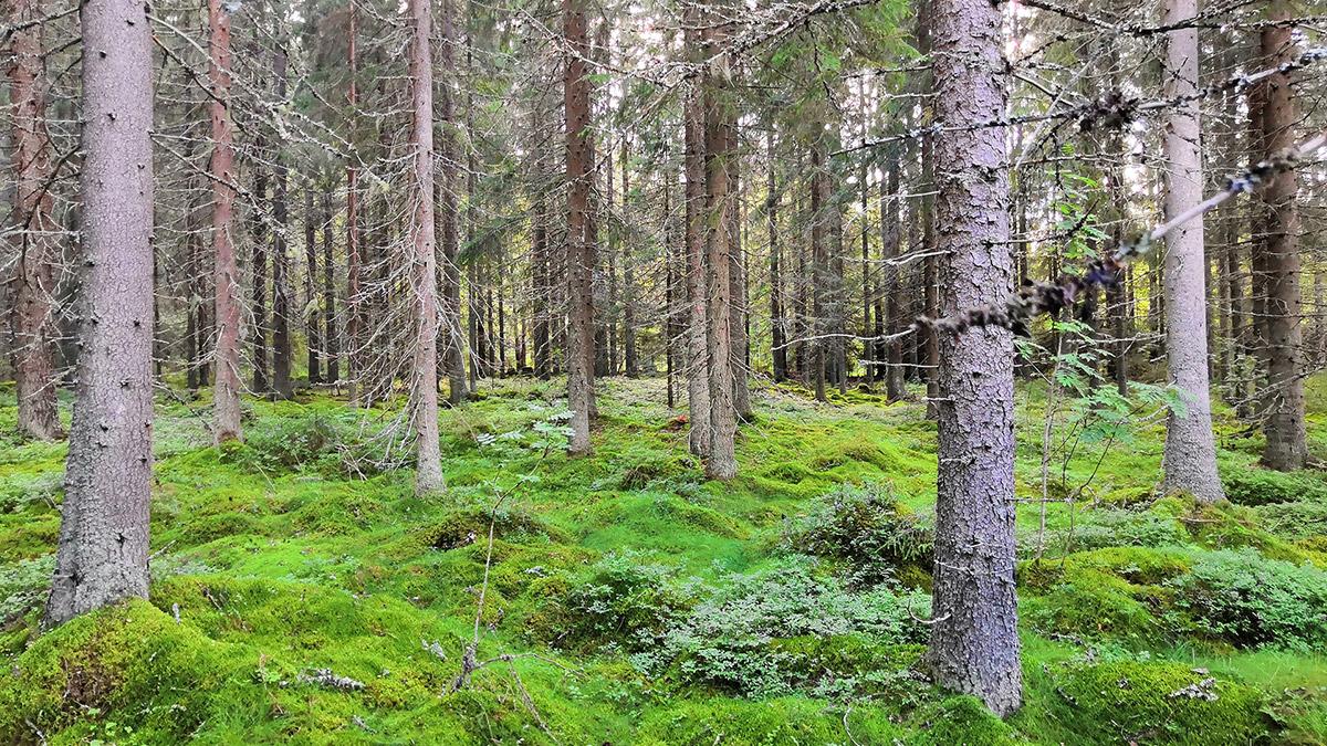 Metsätila Sillanpää maastokuva