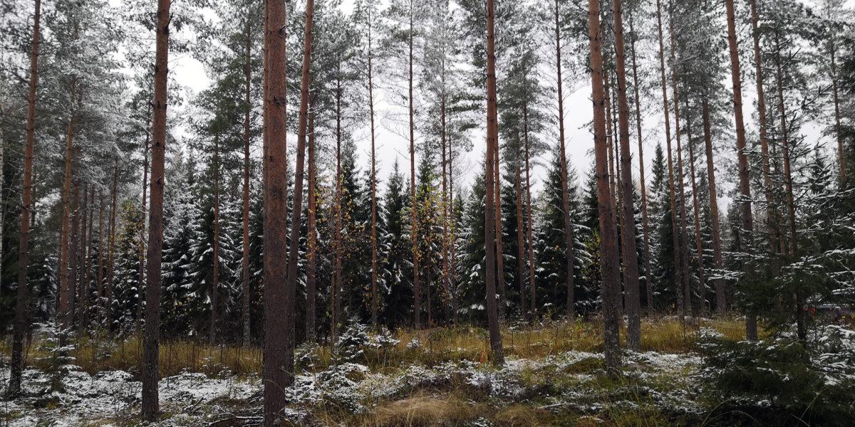 Ikaalinen Karpanperä, metsä