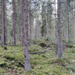 Kuva 2 kuusimetsä Valkeakoski Pyörönmaa