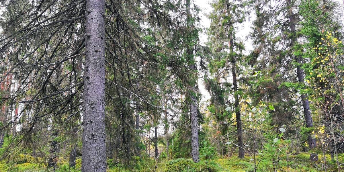 Kankaanpää Venesjärvi Jyränkylä metsäkuva kuvio 23 - ostametsää.fi