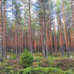 Kankaanpää Venesjärvi Jyränkylä metsäkuva kuvio 24 - ostametsää.fi