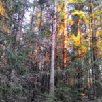 Ylöjärvi Pengonpohja lehtopöllön pöntöltä 30 metriä pohjoiseen
